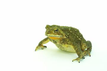 frog-b
