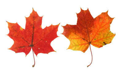 two vivid maple leaves