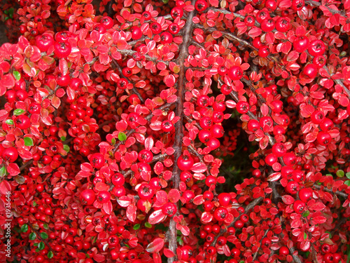 Arbuste a boule rouge photo libre de droits sur la banque d 39 images image 1935646 - Arbuste a boule rouge ...