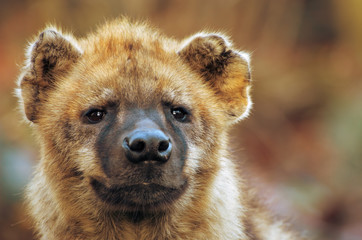 close-up of a hyena