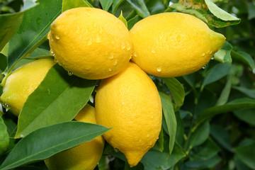 lemon tree branch