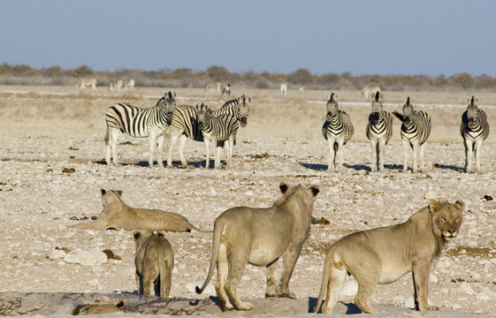 lions and zebras