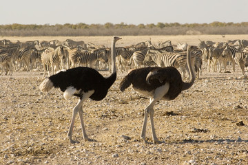 zebras and ostrich