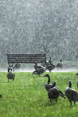 geese in a downpour