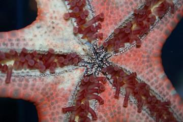 feelers of starfish, sea star, asteroidea