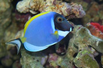 acanthurus leucosternon, tropical fish