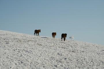 three horses on the snowcovered grassland