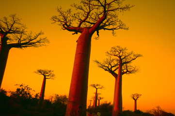 Foto op Canvas Baobab baobab alley