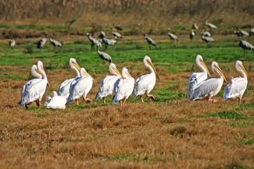 pelicans in the fiels