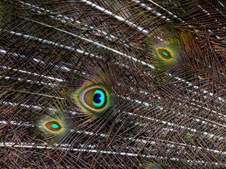 feathers of peacock