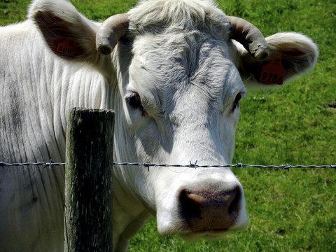 normandy farm cow