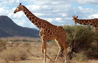 giraffe in samburu national reserve, kenya