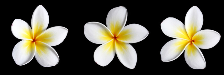 three frangipani on black
