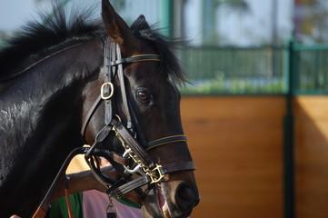 portrait of a race horse