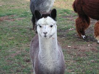 baby alpaca 3