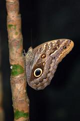 mariposa buho