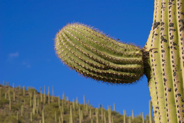saguaro new arm detail