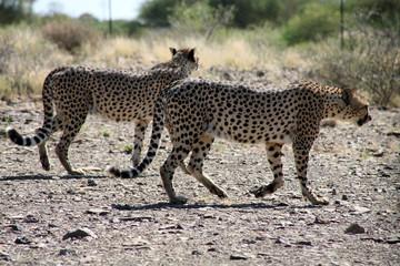 leopard de namibie