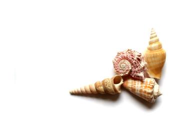 seashells on white