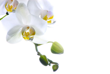 orchidee blanche image
