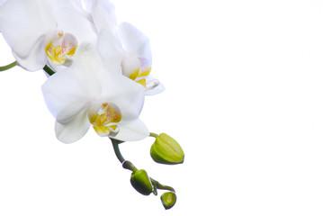 Photo sur Toile Orchidée orchidée blanche