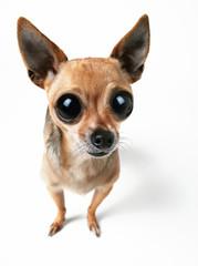 big-eyed chihuahua