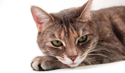 face of grey kitten
