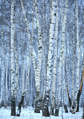 Aluminium Prints Birch Grove birch wood in winter