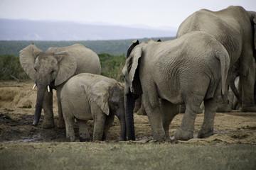 elephants d'afrique du sud