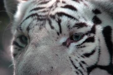 regard de tigre