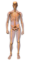 anatomy - skeleton with musculature