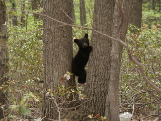 black bear cub resting between two trees
