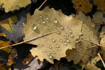 autumn leaf with dew
