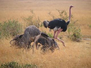 ostrich mating ritual