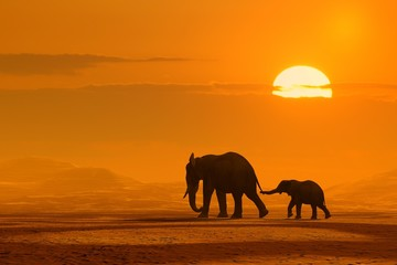 Obraz Podróż słoni w zachodzie słońca - fototapety do salonu
