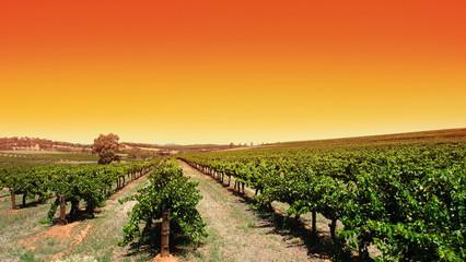 Fototapete - clear sky vineyard