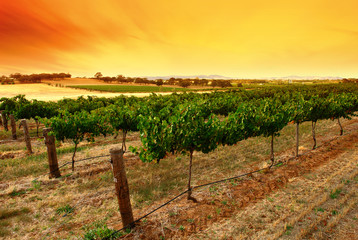 Fototapete - green vines sunrise
