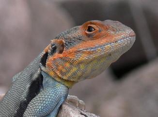 Foto op Aluminium Kameleon the lizard