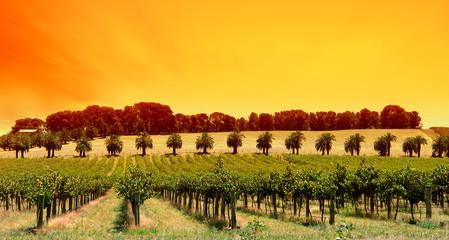 Fototapete - sunset vines