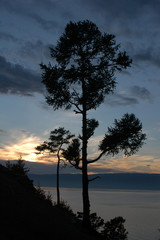 sacred larch trees at sunset