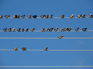 wired pigeons