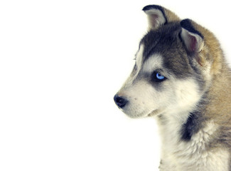 sweet puppy siberian husky