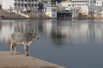 holy cow in pushkar