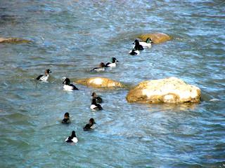 a dozen ducks