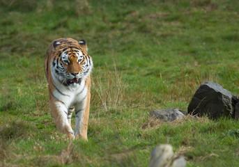 Printed kitchen splashbacks Tiger beautiful tiger