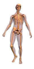anatomy - male skeleton with musculature