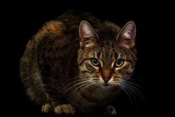 beautiful low-key portrait of a cat (real photograph)