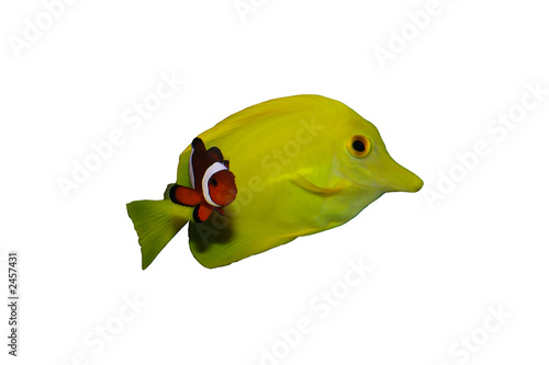 Poisson clown et chirurgien jaune photo libre de droits for Poisson clown achat