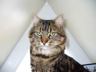 chat aux agués