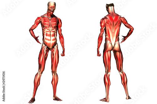 el sistema muscular\